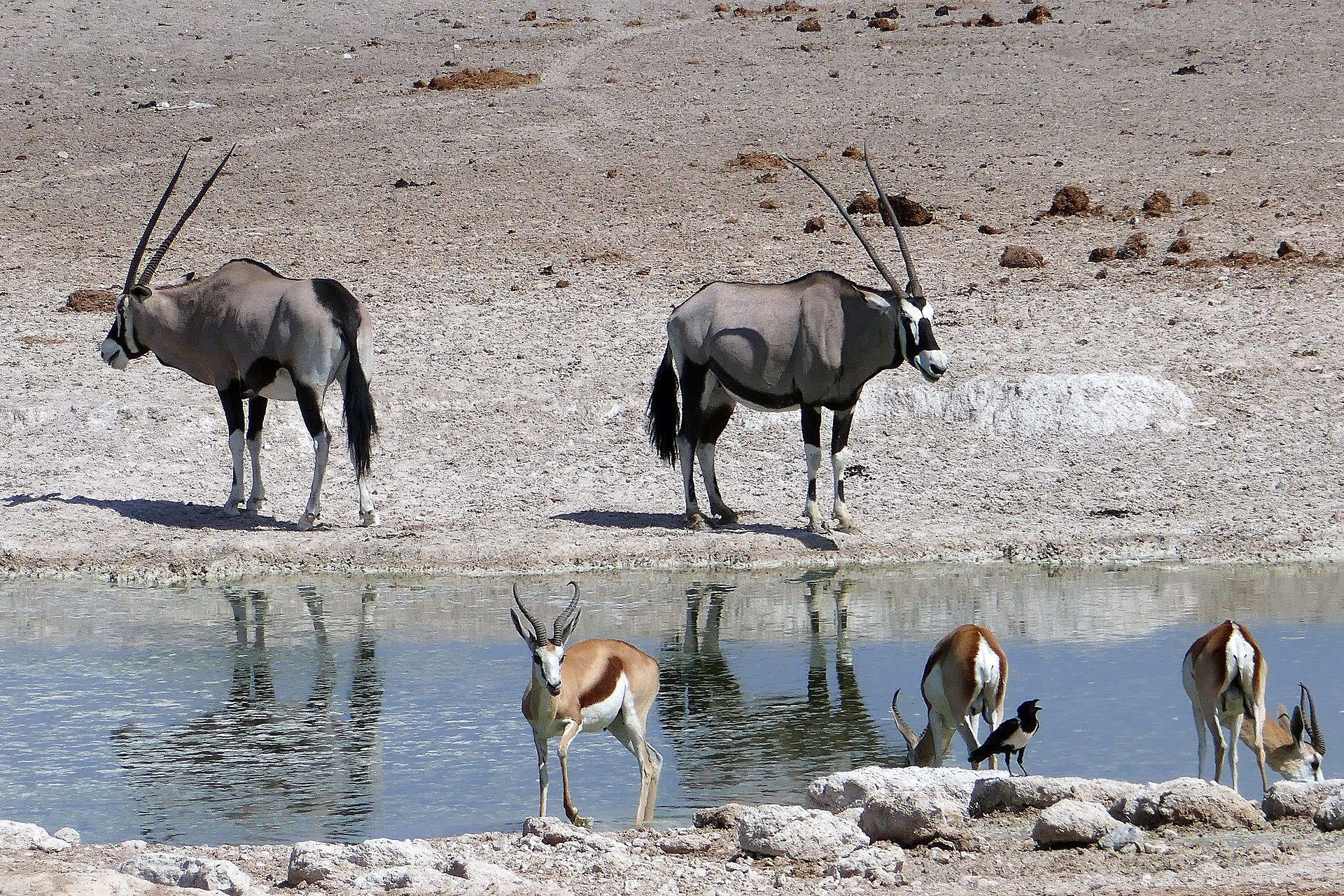 Parc national d'Etosha avec oryx springboks en Namibie