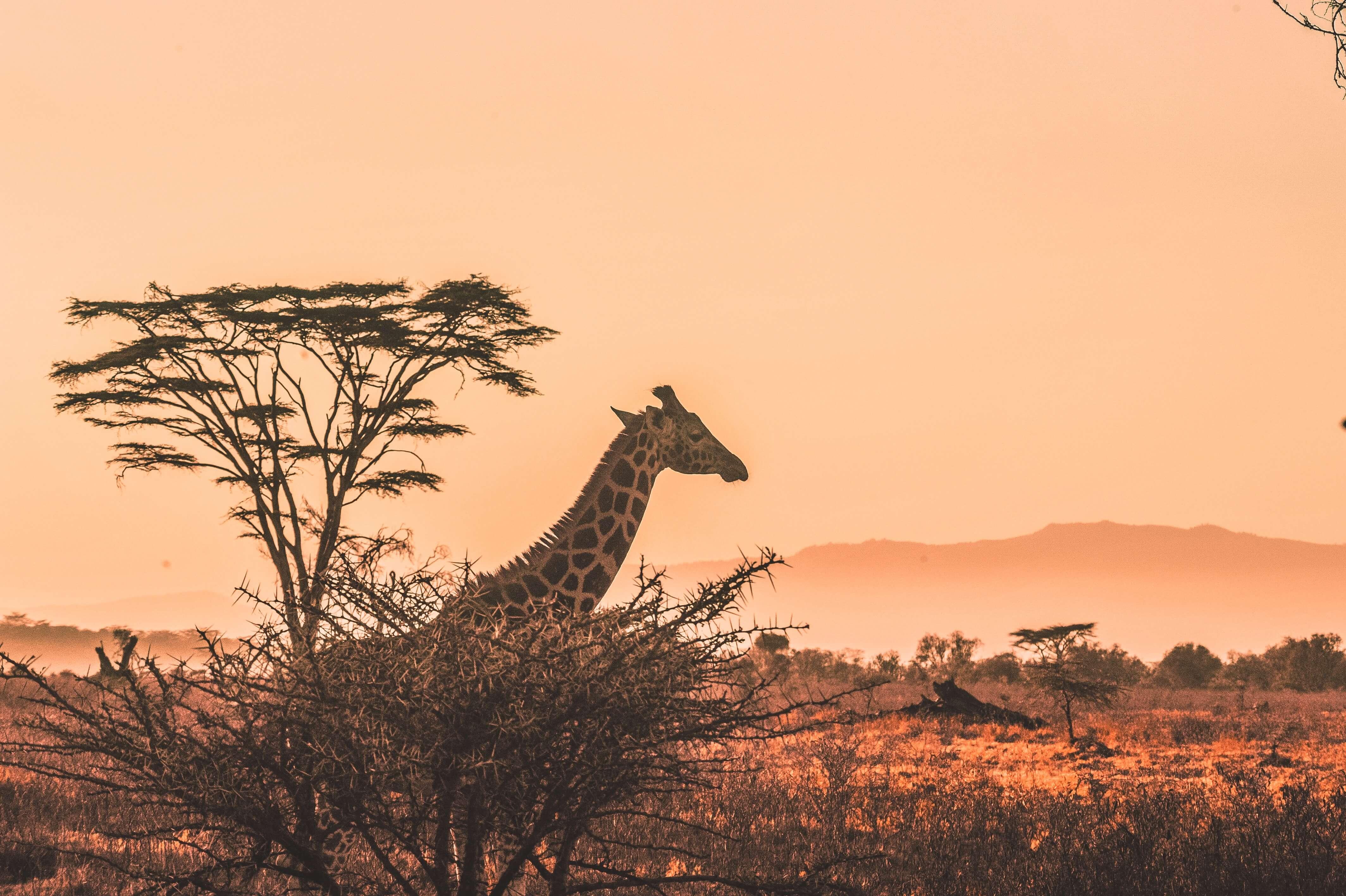Girafe dans la savane africaine